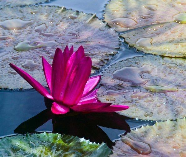 Lotus flower representing enlightenment and authenticiy